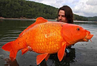 Ikan Mas Terbesar