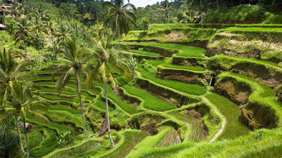 Ubud, Bali, Indonesia, Holiday, Holiday In Bali, Cuti - Cuti Di Bali, Bercuti Di Bali Indonesia, Traveloka, Percutian Di Bali Indonesia, 2018, Tegallalang Rice Terraces, Padi,