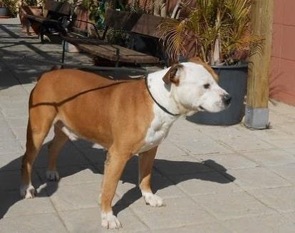 pit bull en adopcion