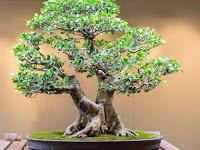 5 Bonsai Terindah dan Termahal di Dunia, Mana Favorit Kamu?