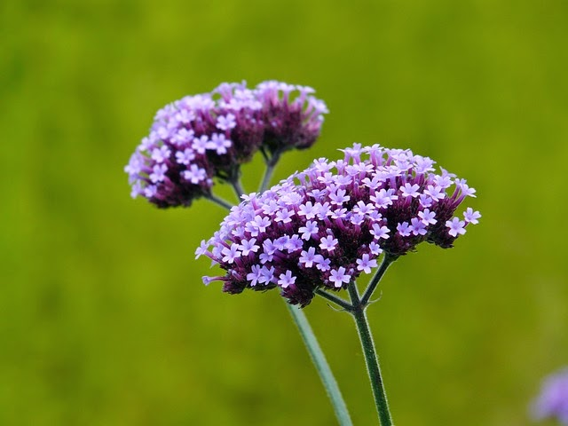 Can verbena bonariensis be grown from seed