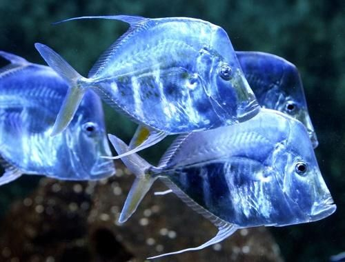 Peixe Galo (Selene vomer)