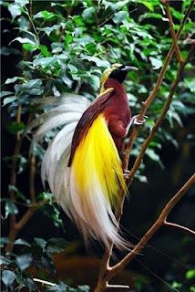 Beautiful Paradisebirds