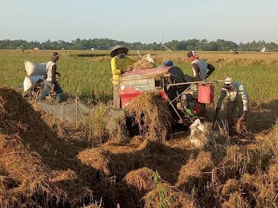 Majunya Teknologi Pertanian, Sisakan Derita Rumsah Seorang Buruh Tani