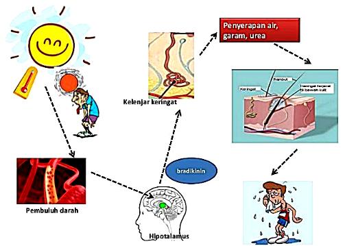 Faktor yang Mempengaruhi Pengeluaran Keringat Lengkap 4 Faktor yang Mempengaruhi Pengeluaran Keringat Lengkap