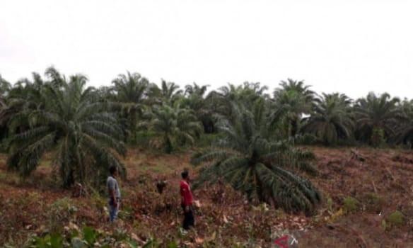 Kelompok Tani Usulkan Peremajaan Tanaman Kelapa Sawit Seluas 345,68 Ha