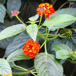 Manfaat Daun, Bunga, Akar Tanaman Tembelekan Bagi Kesehatan