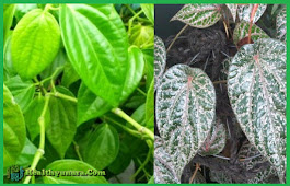 32 Benefits Of Betel Leaf For Health And Also Beauty Skin