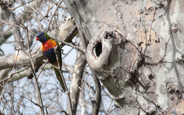 Rainbow Lorikeet guarding it's nest