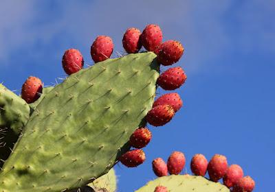 figuier de barbarie cactus pour maigrir