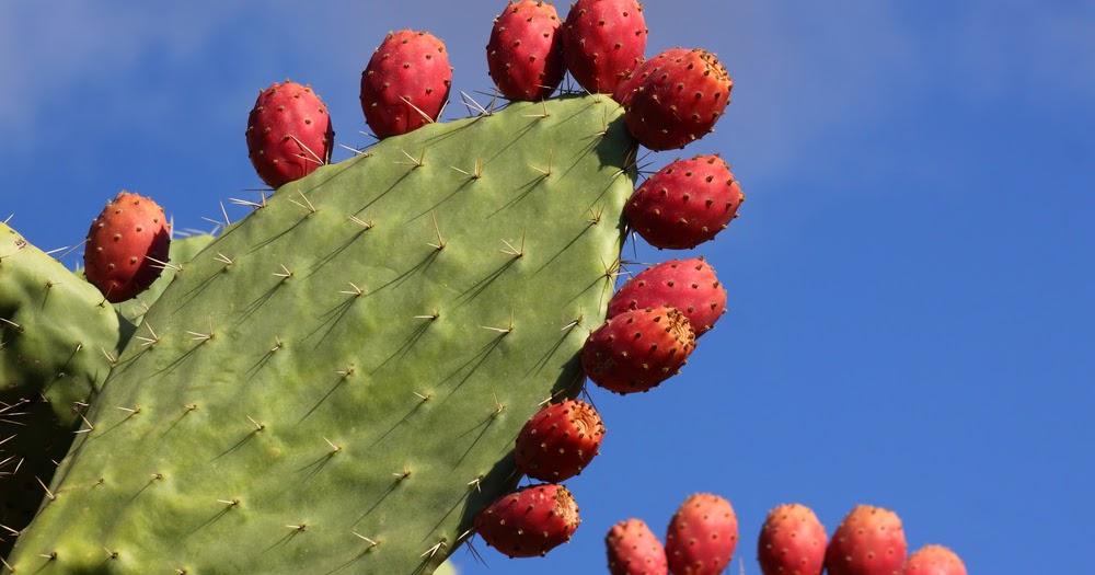 Figuier de barbarie nopal pour mincir for Plante pour mincir