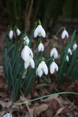 snowdrops in the garden - Carrie Gault