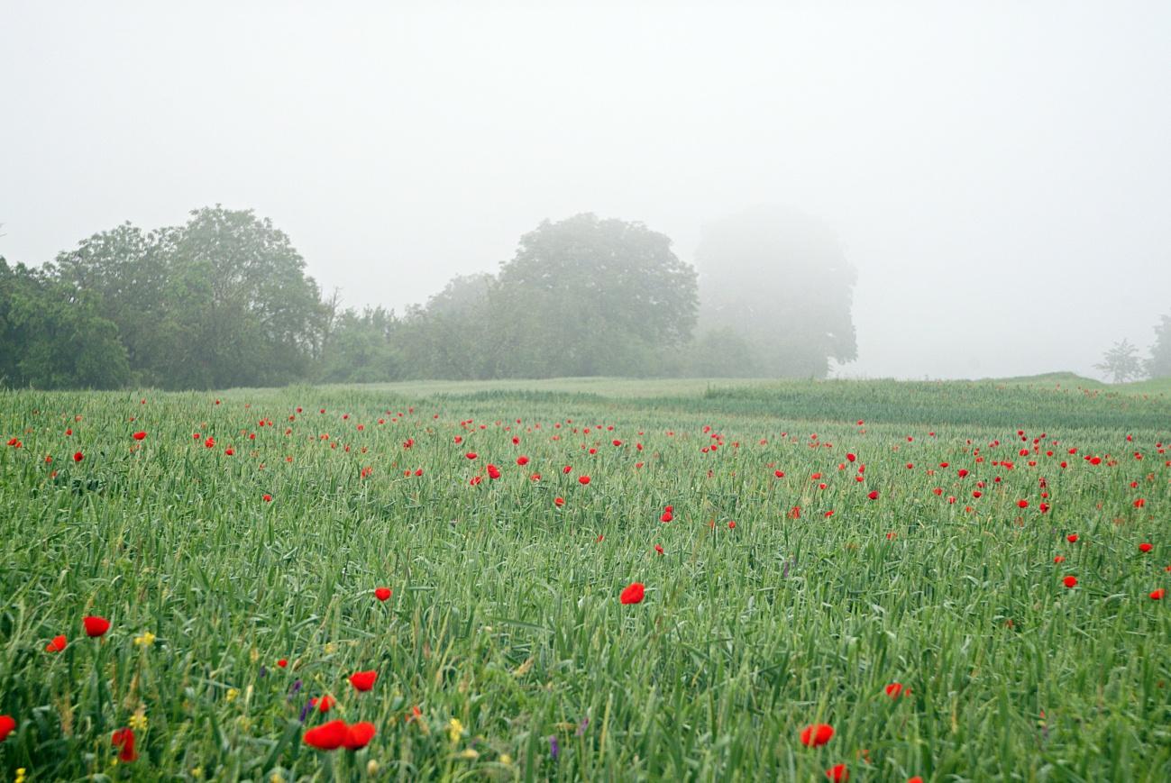 Zum Tagesabschluss — Bild  des Tages #101 — Lutherlinde im Nebel
