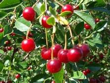 buah cerri