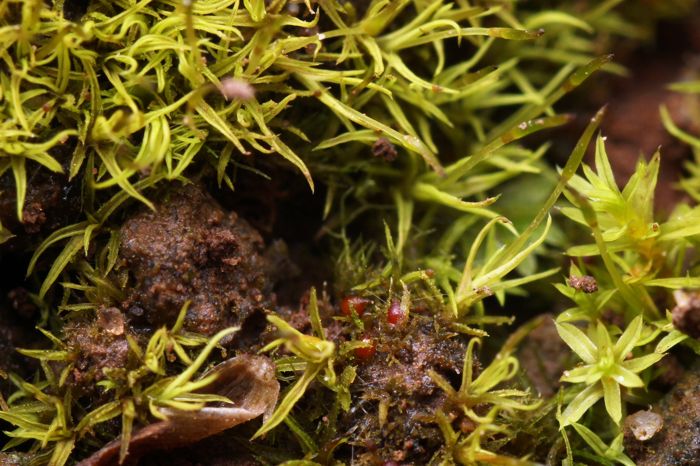 South Wales Bryophytes: Miniature garden flora