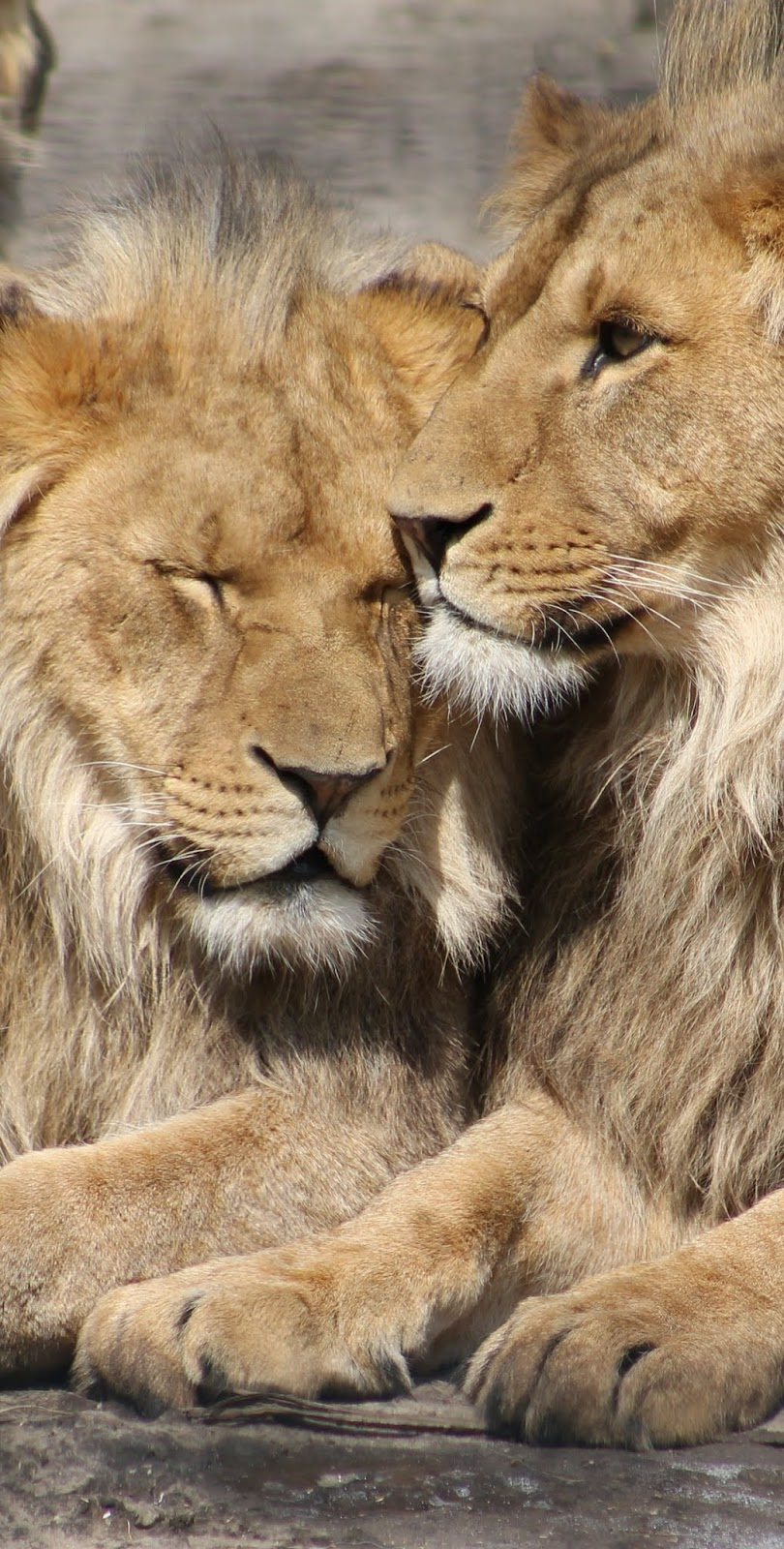 Picture of lions cuddling.