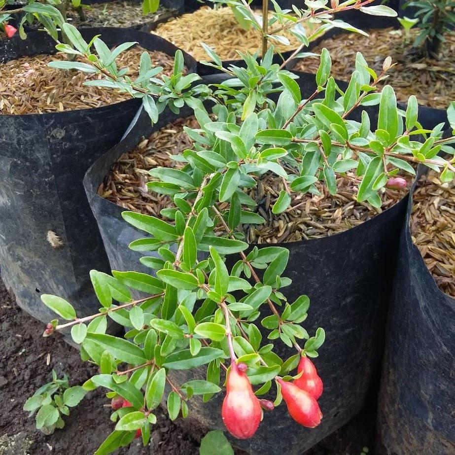 Bibit delima merah jumbo hasil cangkok cepat berbuah Jawa Tengah