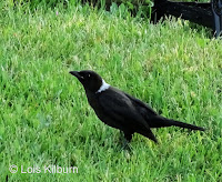 Common Grackle with white spot on nape – Priest Pond area, PEI – July 9, 2018 – © Lois Kilburn