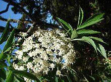 Tanaman sangitan yaitu tumbuhan semak yang sering kita jumpai berada disekitar kita Manfaat Sangitan (Sambucus Javanica Reinv)