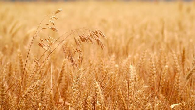 מה ההבדל בין חיטים ועשבים רעים?