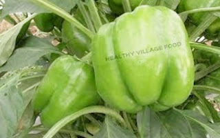 PLUCKING BELL PEPPERS IN OUR FARM   GREEN CAPSICUM FARM   HEALTHY VILLAGE FOOD