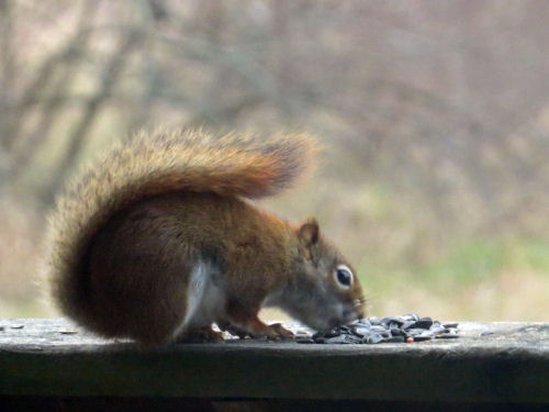 red squirrel eating a sunflower seed