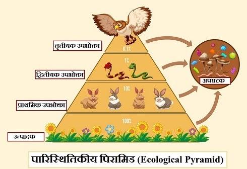 पारिस्थितिकीय पिरामिड (Ecological Pyramid)।