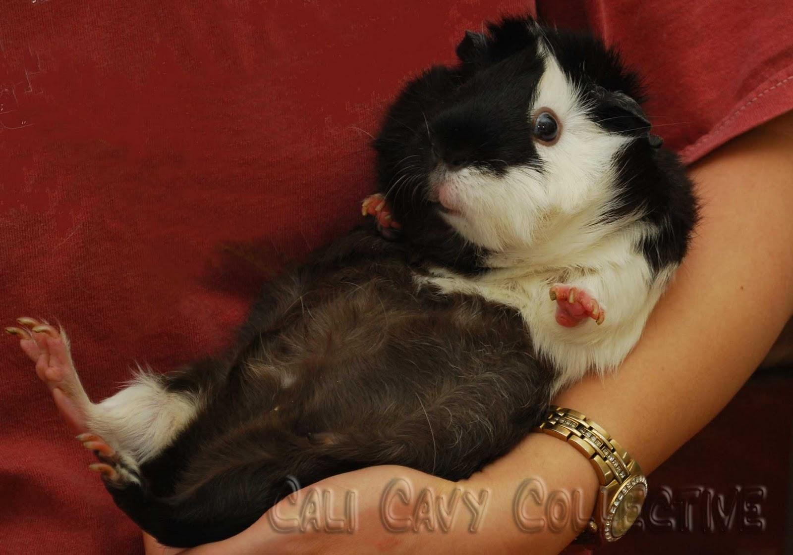 Guinea Pig Rescue Ohio