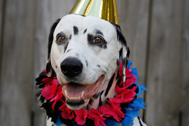 Dalmatian dog smiling in a party had and colourful floral lei