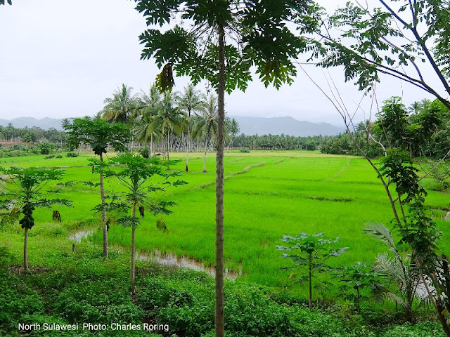 Ricefield in Doloduo of North Sulawesi