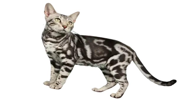 chat bengal marbre