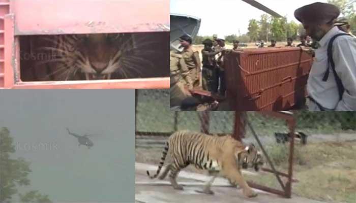 Tigress of Kanha, Panna National park, tiger reserve, UNESCO, tigress of Panna, delivered 7 litters with 21 cubs, Pench National Park with 29 cubs in 8 litters,