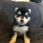 Miniature Siberian Huskies