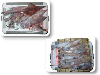京都舞鶴・福井敦賀 白いか 剣先イカ 関西の船釣りで釣れる 竿とリール