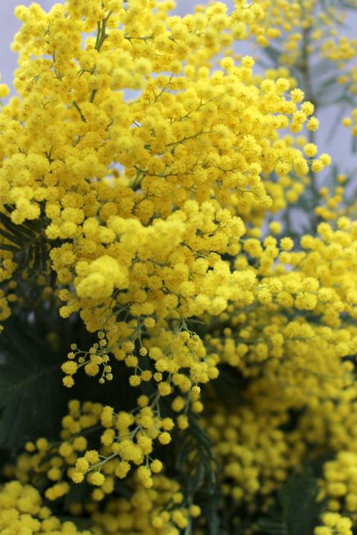 Golden Acacia