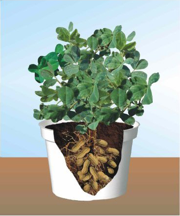 How to grow peanuts the garden of eaden for What does soil come from