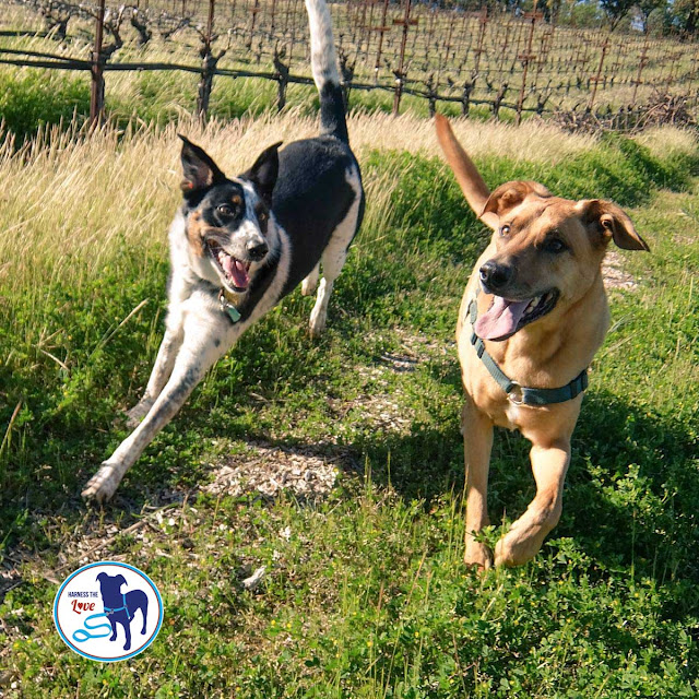 Two dogs running happily in their front clip harnesses