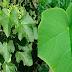 TUBA-TUBA: Kayang labanan ang iba't ibang Kondisyon tulad ng Almoranas, Uric Acid, Rayuma at Marami Pang Iba.
