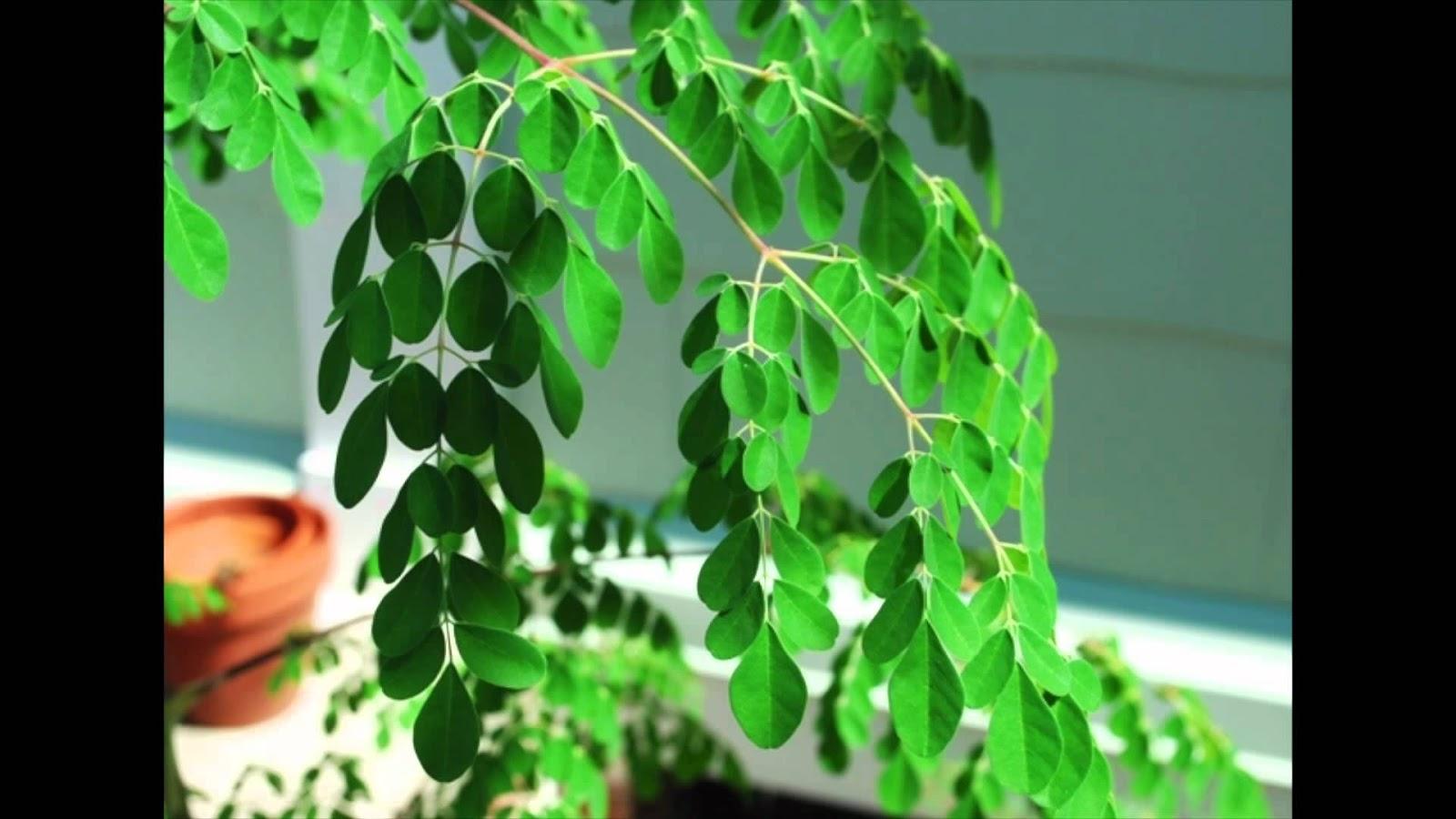 المورينجا العجيبة , مقال شامل عن نبات المورينجا الذي يغفل عنه الكثيرون