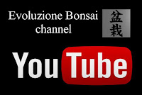 https://evoluzionebonsai.blogspot.it/2017/08/rosemary-bonsai-separation-of-dead-wood.html
