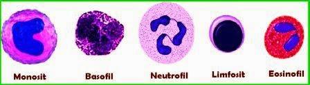 Pada pembahasan sebelumnya seputar sel darah putih telah kami bahas yakni Pengertian Fungsi dan Ciri-Ciri dari Jenis-Jenis Sel Darah Putih (Leukosit)