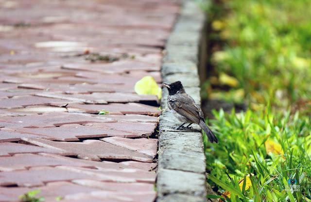 bulbul-bird-birding