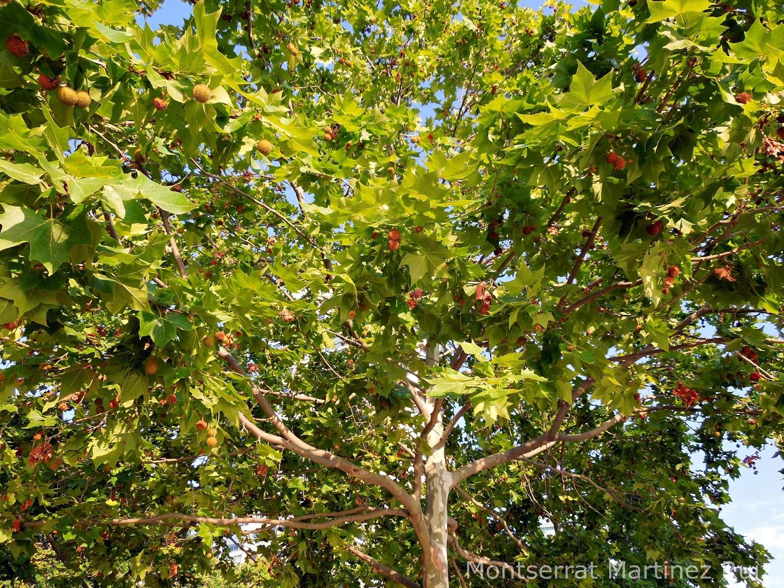 Platano De Sombra Botanic Serrat - Arboles-que-dan-sombra