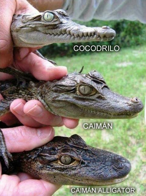direfencias, caiman, cocodrilo, alligator, americano, crocodilio