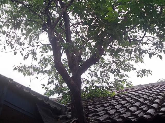 Pohon belimbing menjadi sarang lebah