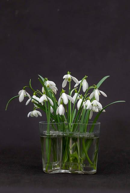 Lumikelloja Aaltomaljakossa. Ne on aseteltu InVase kukkatuen avulla ja pysyvät hienosti pystyssä.