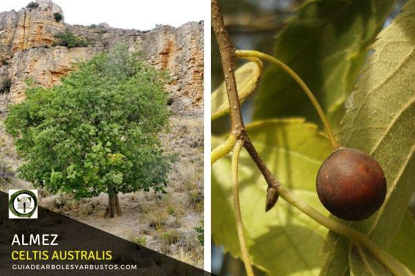 El Almez es un Árbol muy utilizado en alineaciones y paseos dentro de nuestros pueblos y ciudades