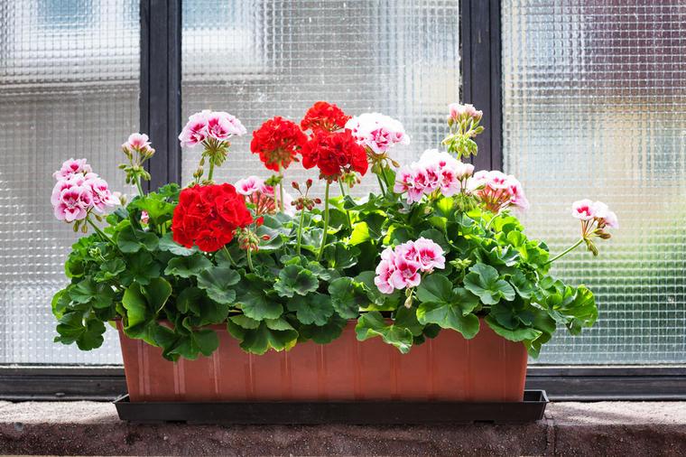 muškatle-cvijeće-balkonsko_cvijeće-uzgoj-bilje-pelargonija-belagona