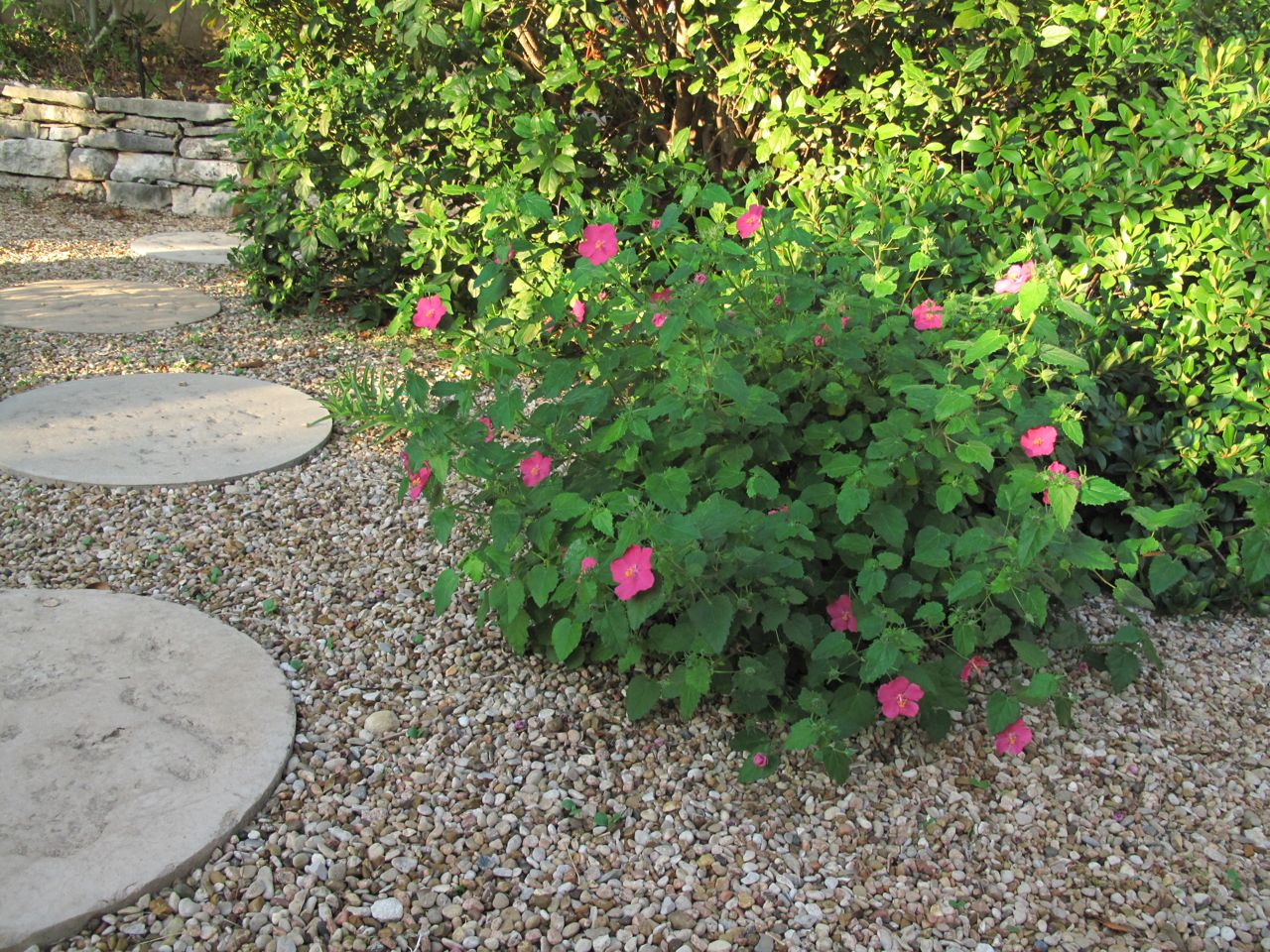 ROCK ROSE: TEXAS NATIVE PLANT WEEK OCT. 16th. -22nd. WHAT