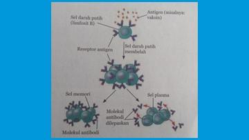 sel darah putih membelah dan membentuk antibodi saat vaksin masuk ke dalam tubuh